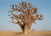 senegal-baobab-bernard-bill5-attribution-share-alike