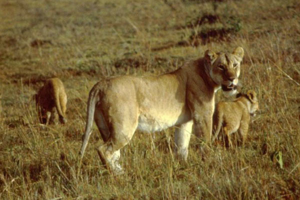 lion mother breeding