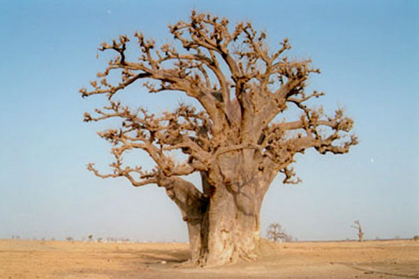 senegal-baobab-bernard-bill5-attribution-share-alike0