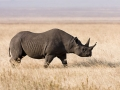 black-rhino-ngorongoro-ikiwaner-attribution-share-alike0