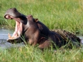 botswana-okavango-hippopotamus-charlesjsharp-attribution-share-alike