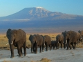 elephants-amboseli-national-park-kilimanjaro-amoghavarsha-attribution-share-alike