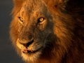 lion-kruger-park-the-king-attribution