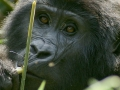 uganda-gorilla-fiver-locker-attribution-share-alike2