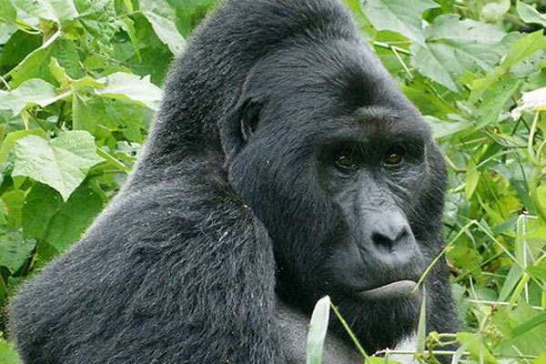 uganda-gorilla-fiver-locker-attribution-share-alike