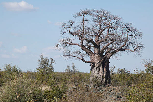 baobab-kruger-park-leo-za1-attribution-share-alike